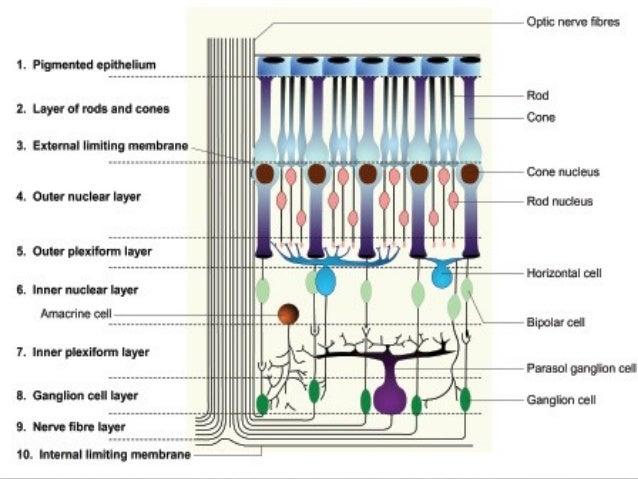 Retinal layers anatomy