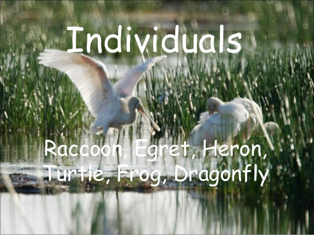 Individuals Raccoon, Egret, Heron, Turtle, Frog, Dragonfly