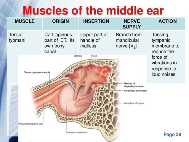 Anatomy behind ear