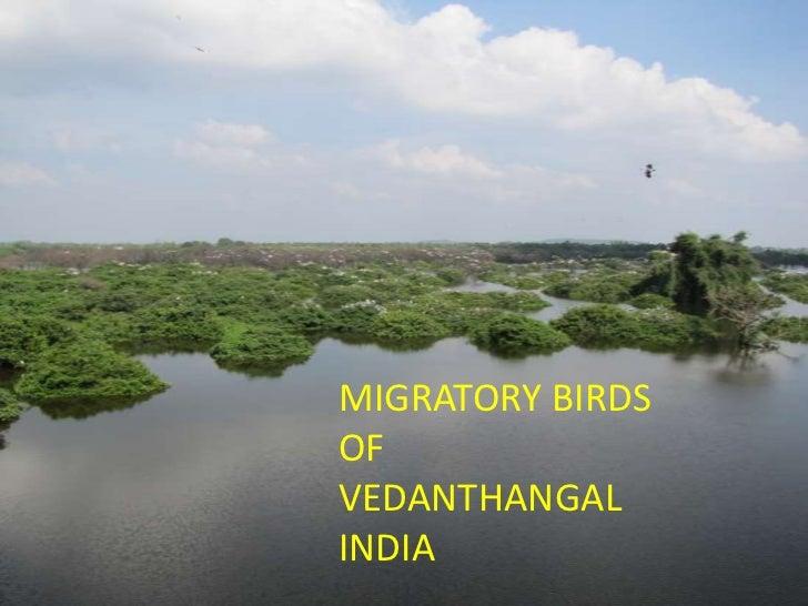 Migratory birds of vedanthangal, india.