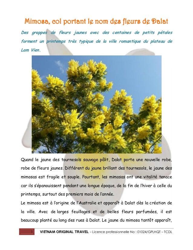 Mimosa, col portant le nom des fleurs de Dalat Des grappes de fleurs jaunes avec des centaines de petits pétales forment u...