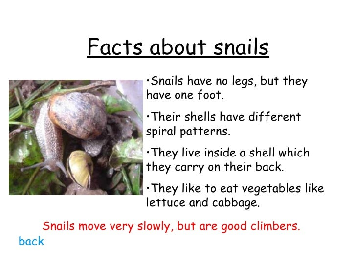 black sea snail facts This sea snail has an arched, rounded shell (upper image) on the inside of the shell (lower image) there is a deck which causes the shell to resemble a boat or a slipper.