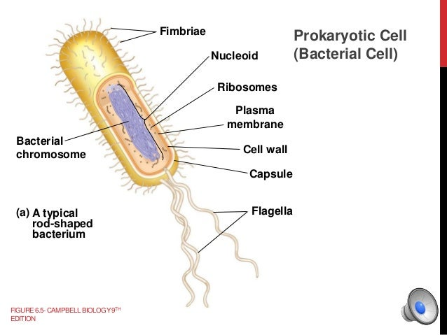 Images of Diagram Of A Typical Prokaryotic Cell - Spyally Dragrams