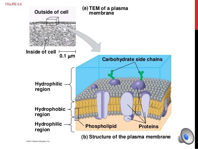 the importance of the cellular plasma membrane Types of cellular respiration the types of carbohydrates in the cell membrane are discuss the importance of carbohydrates in the cell membrane and in cell.