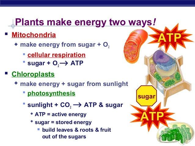 Chloroplast Cellular Respiration