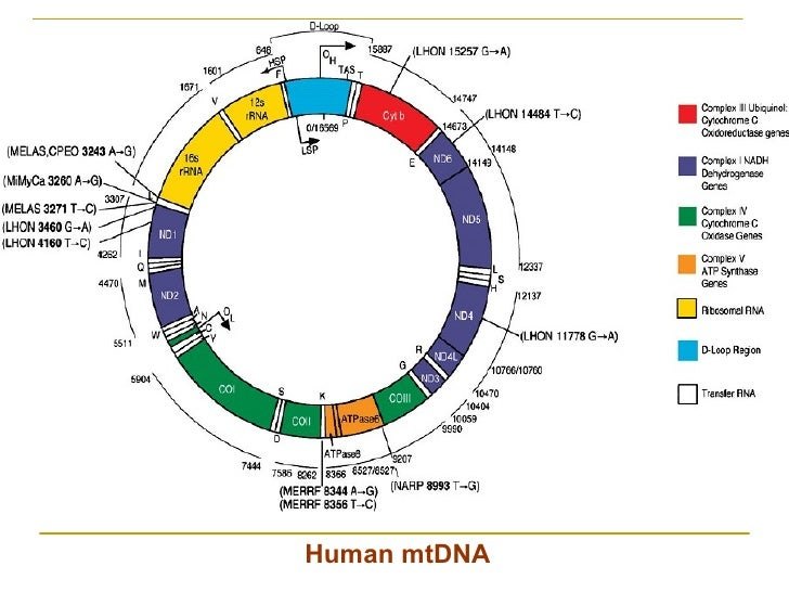 """mitochondria genome inheritance and features Inheritance and genetics  before launching into the inheritance of mitochondrial disease, i will define what this author defines as """"mitochondrial disease ."""