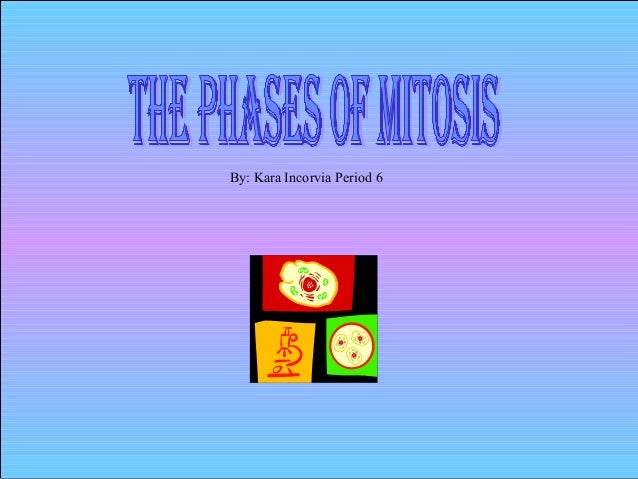 The  Phases Of  Mitosis