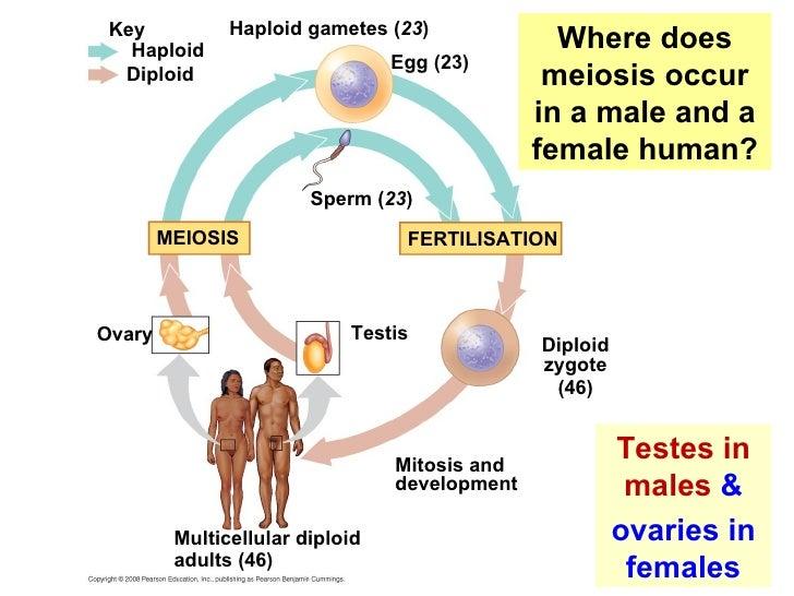 do females produce testosterone