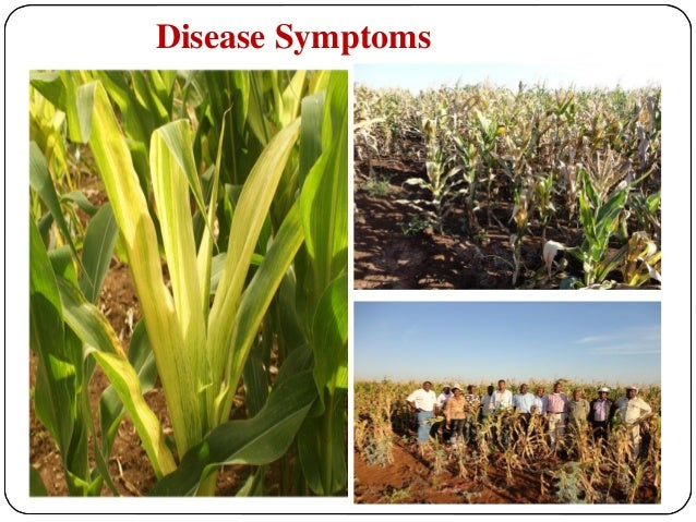 maize lethal necrosis disease pdf
