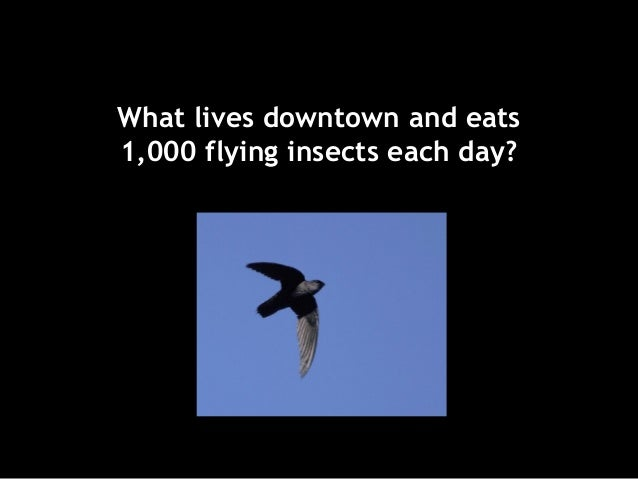 What lives downtown and eats 1,000 flying insects each day?