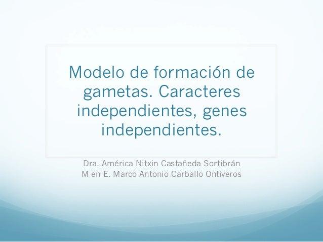 Modelo de formación de gametas. Caracteres independientes, genes independientes. Dra. América Nitxin Castañeda Sortibrán M...
