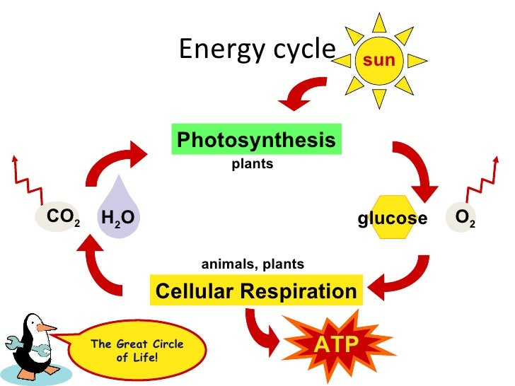 Comparing Photosynthesis And Cellular Respiration - Lessons - Tes ...