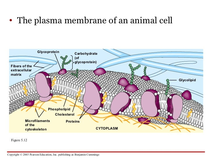 Animal cell diagram cytoskeleton biology archive september 03 animal cell diagram cytoskeleton download ccuart Image collections