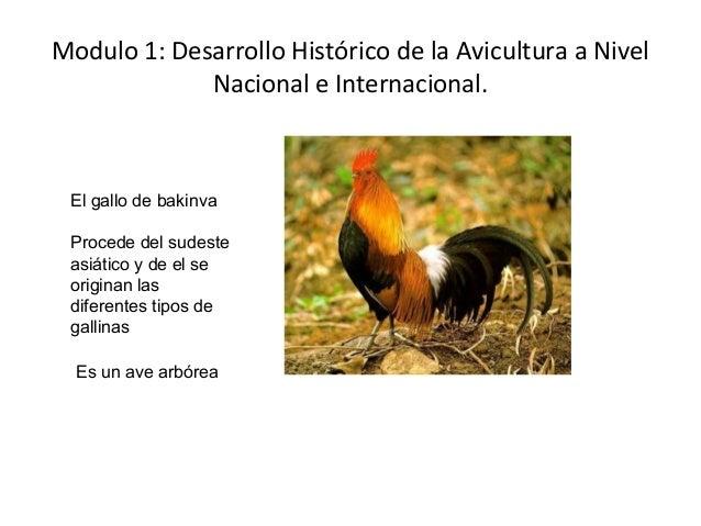 Modulo 1: Desarrollo Histórico de la Avicultura a Nivel Nacional e Internacional.  El gallo de bakinva Procede del sudeste...