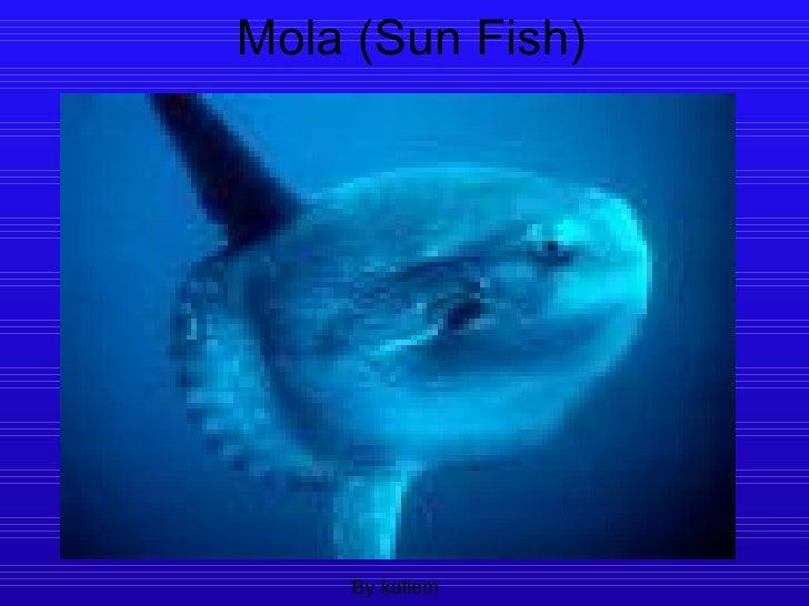 Mola (Sun Fish)
