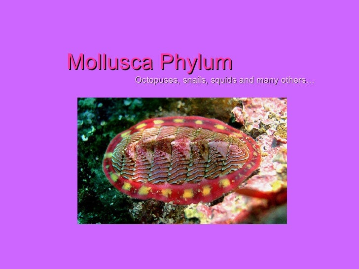 Mollusca Phylum   Octopuses, snails, squids and many others…