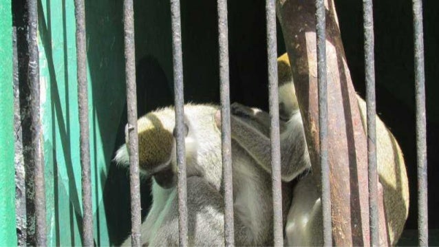 The monkeys in Egypt