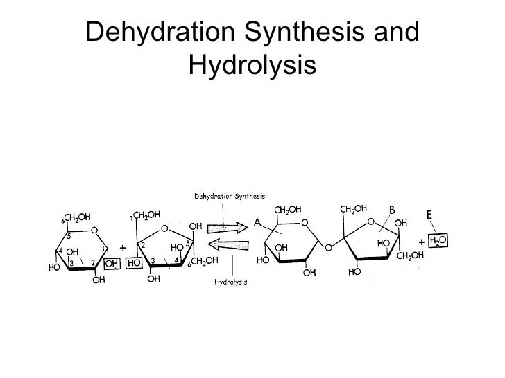 dehydration synthesis and hydrolysis In dehydration synthesis, two molecules join to form a new product, resulting ina loss of water can you explain this process for the ap biology exam.