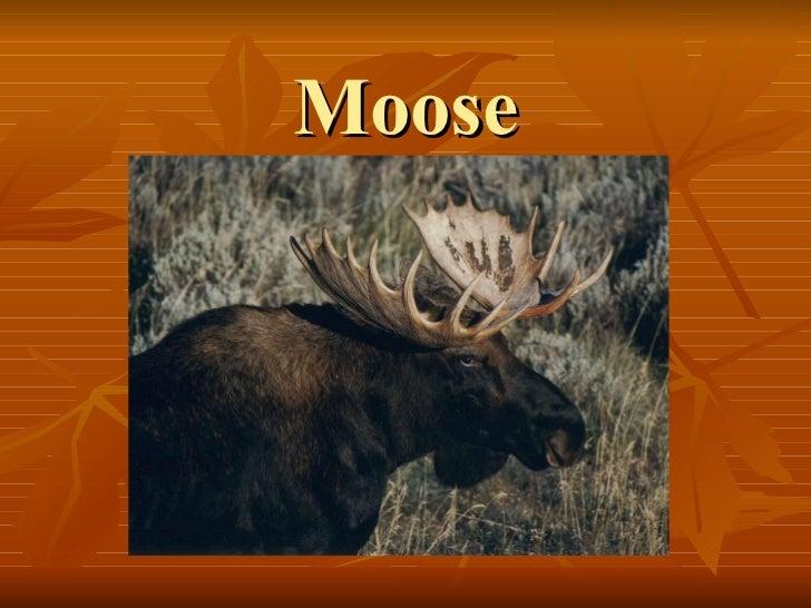 Moose martina3