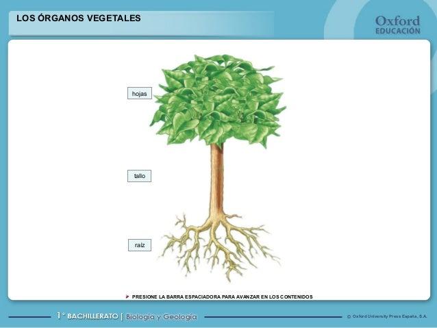 LOS ÓRGANOS VEGETALES  hojas  tallo  raíz  PRESIONE LA BARRA ESPACIADORA PARA AVANZAR EN LOS CONTENIDOS  © Oxford Universi...