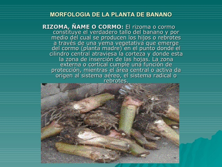MORFOLOGIA DE LA PLANTA DE BANANO RIZOMA, ÑAME O CORMO:  El rizoma o cormo constituye el verdadero tallo del banano y por ...