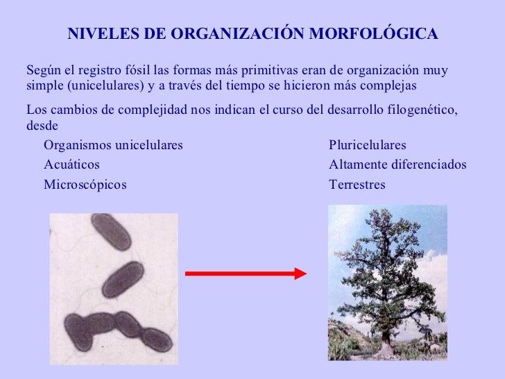 NIVELES DE ORGANIZACIÓN MORFOLÓGICA Según el registro fósil las formas más primitivas eran de organización muy simple (uni...