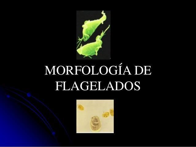 MORFOLOGÍA DE FLAGELADOS