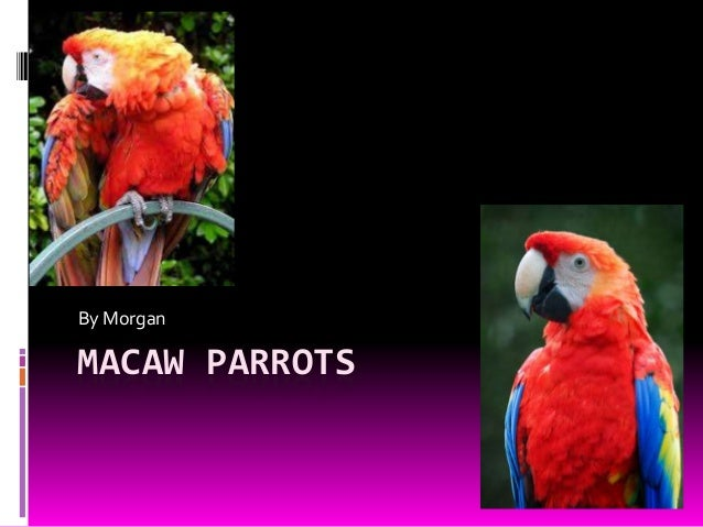 MACAW PARROTS By Morgan