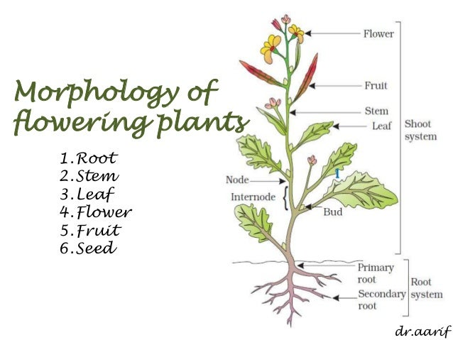 Flowering Plant Diagram Morphology of Flowering Plants