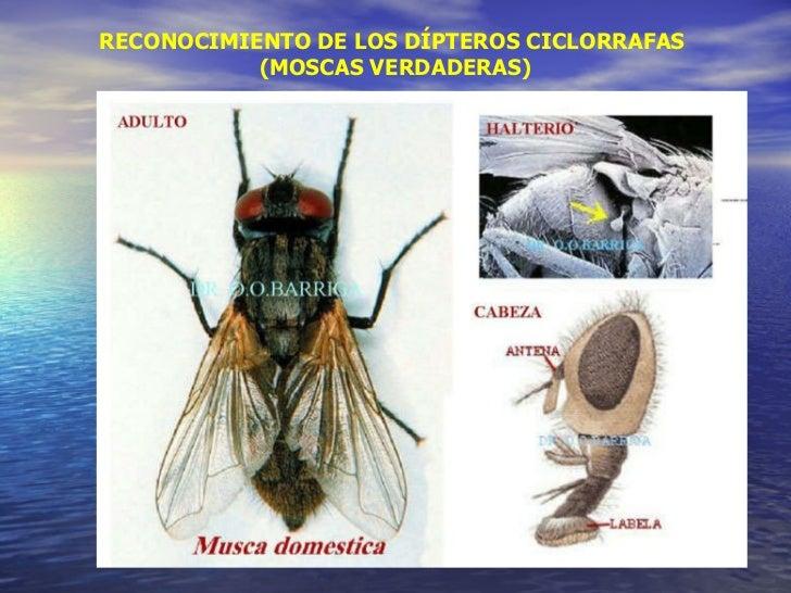 RECONOCIMIENTO DE LOS DÍPTEROS CICLORRAFAS  (MOSCAS VERDADERAS)