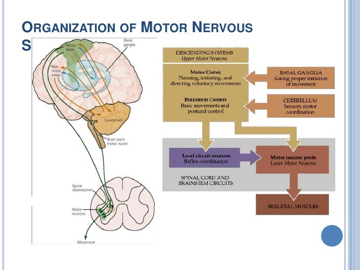 Motor System Cortical Control