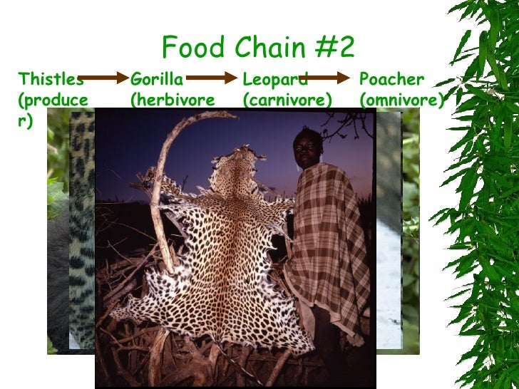 Related Keywords Amp Suggestions For Mountain Gorilla Food Web