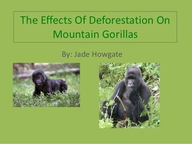 The Effects Of Deforestation On       Mountain Gorillas        By: Jade Howgate