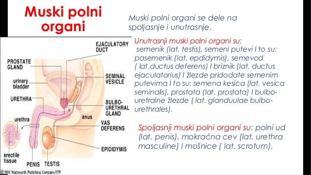 Polni organ penis