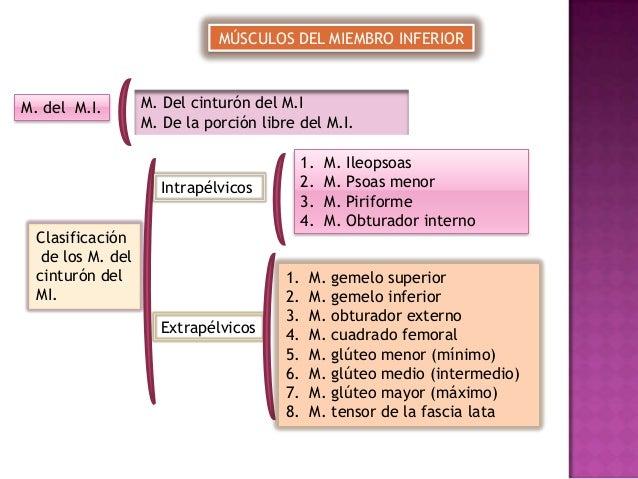 MÚSCULOS DEL MIEMBRO INFERIOR  M. del M.I.  M. Del cinturón del M.I M. De la porción libre del M.I. 1. 2. 3. 4.  Intrapélv...