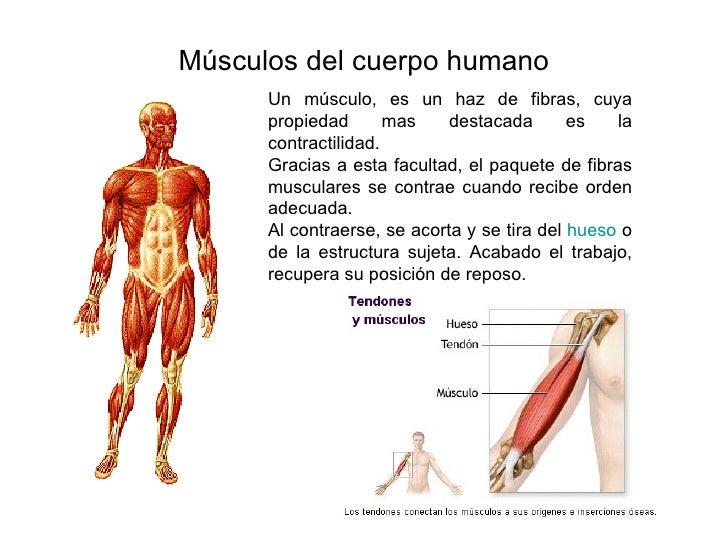 Músculos del cuerpo humano Un músculo, es un haz de fibras, cuya propiedad mas destacada es la contractilidad.  Gracias a ...