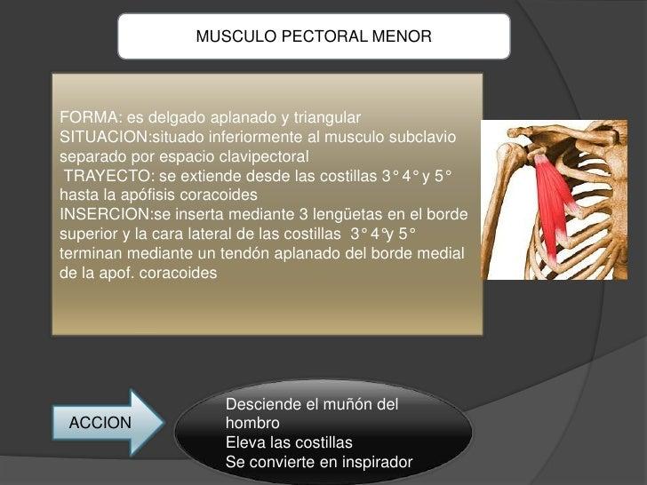 MUSCULO PECTORAL MENORFORMA: es delgado aplanado y triangularSITUACION:situado inferiormente al musculo subclavioseparado ...