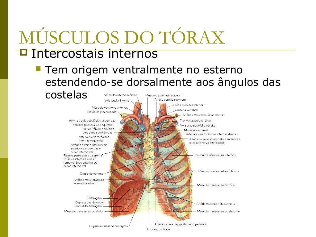 MÚSCULOS DO ABDÔMEN   Estão dispostos em 2 porções:       Músculos ântero-laterais          Oblíquo externo do abdômen ...