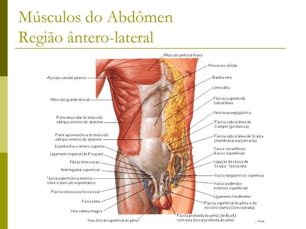 Músculos que ligam o Membro superiorà Coluna Vertebral Trapézio Grande dorsal Rombóide maior Rombóide menor Levantado...