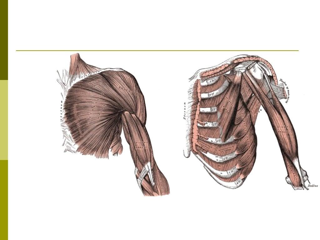 Músculos Toracoapendiculares                    PosterioresMúsculo              Origem                      Inserção      ...