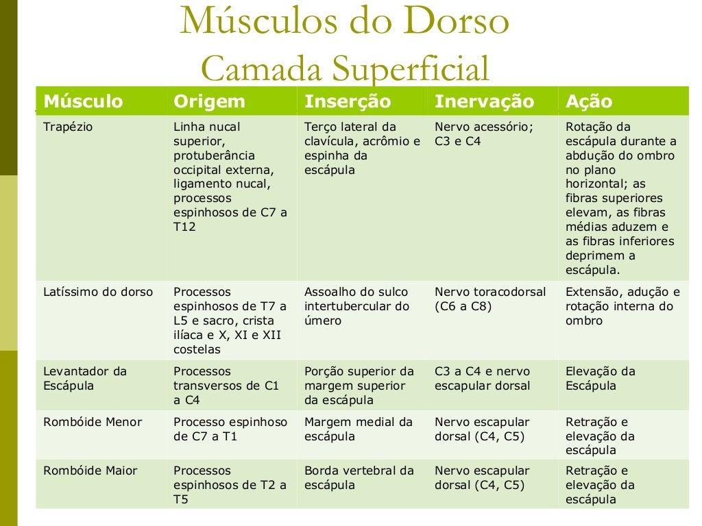 Músculos do Dorso                         Camada SuperficialMúsculo              Origem                 Inserção          ...