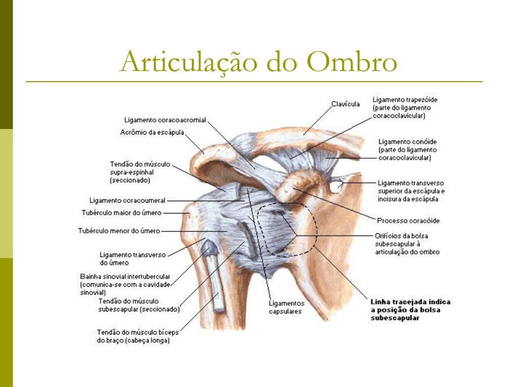 Músculos do BraçoMúsculos           Origem                  Inserção               Inervação          AçãoBíceps braquial ...