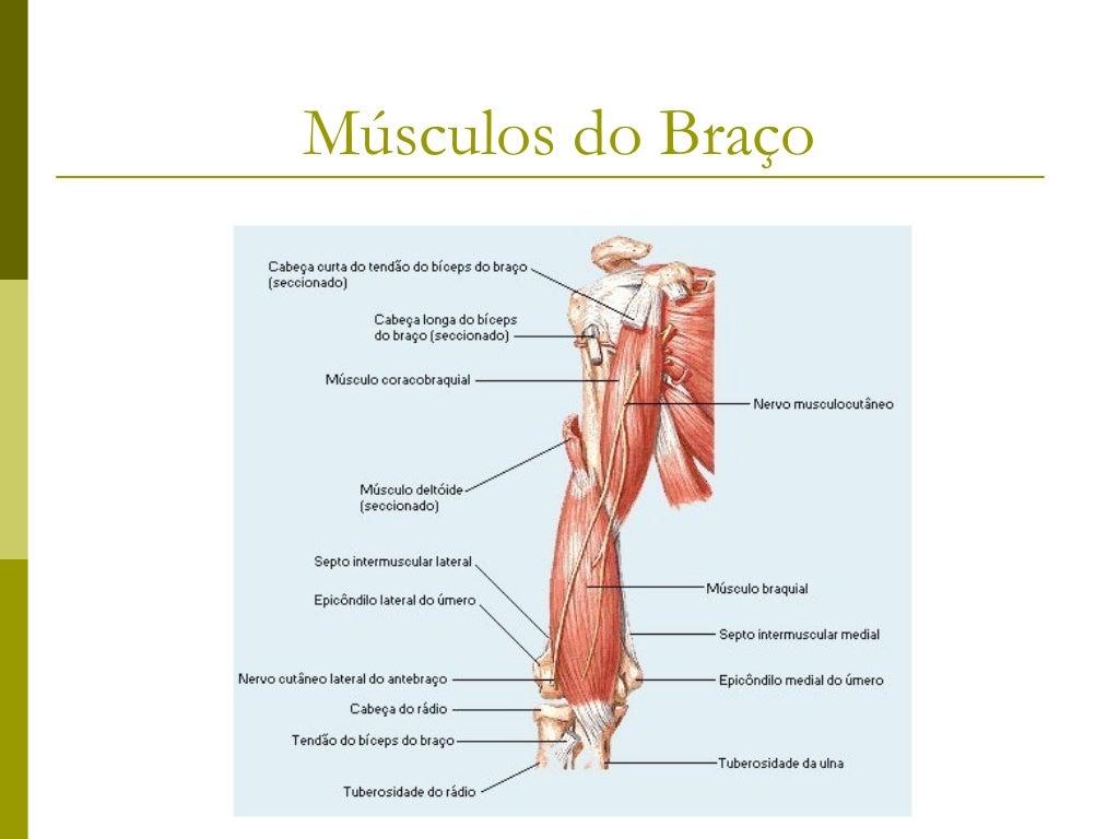 Músculos do antebraço   Músculos antebraquiais dorsais       Grupo superficial            Extensor radial longo do carp...