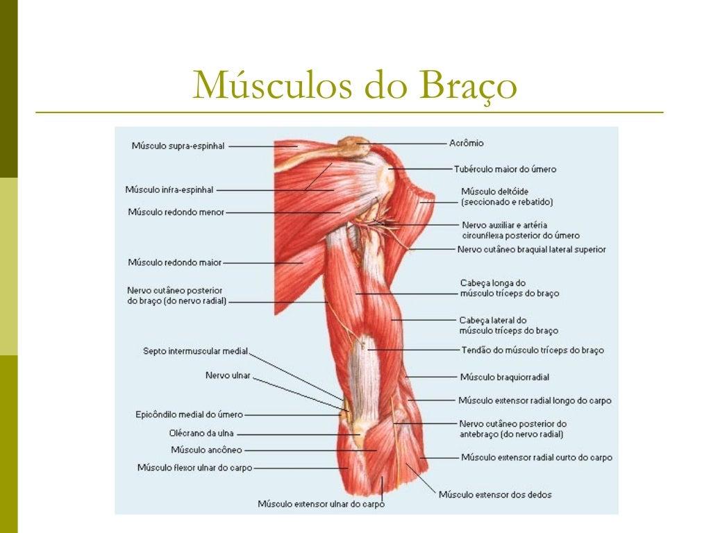 Músculos do antebraço   Grupo profundo       Supinador       Abdutor longo do polegar       Extensor longo do polegar ...