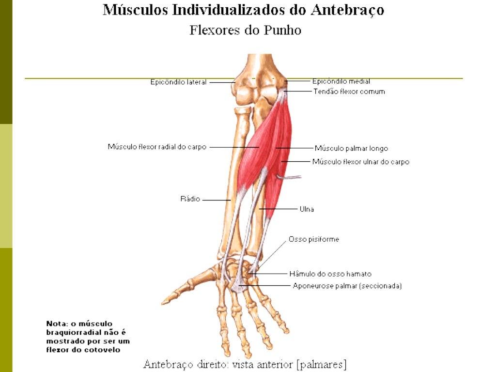 Músculos do antebraço   Grupo profundo:                   Flexor profundo dos dedos                   Flexor longo do pol...