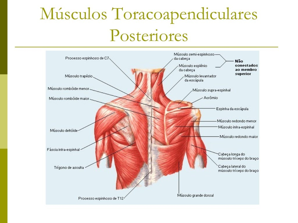 Músculos Toracoapendiculares         Posteriores