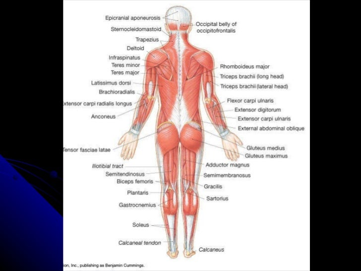 Quadriceps Muscles Axial Axial Muscles Organized Into