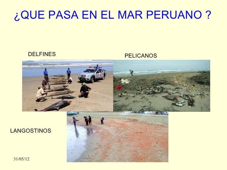 ¿QUE PASA EN EL MAR PERUANO ?       DELFINES   PELICANOSLANGOSTINOS31/05/12