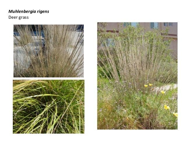 Muhlenbergia rigens Deer grass