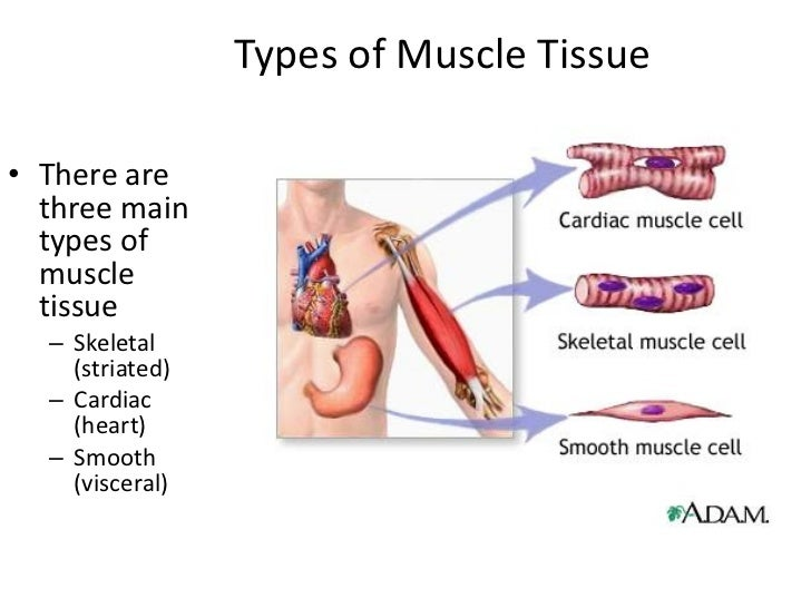 Three Types of Muscle Tissue Types of Muscle Tissue